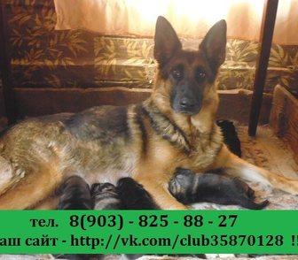 Изображение в Собаки и щенки Продажа собак, щенков НЕМЕЦКОЙ ОВЧАРКИ крупных мощных малышей продам в Костроме 0