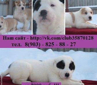 Изображение в Собаки и щенки Продажа собак, щенков Продам крупных чистокровных щеночков среднеазиатской в Костроме 0