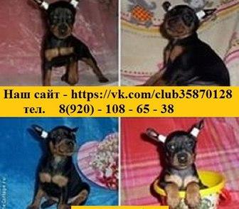 Фото в Собаки и щенки Продажа собак, щенков Чистокровных щеночков карликового пинчера в Костроме 9000