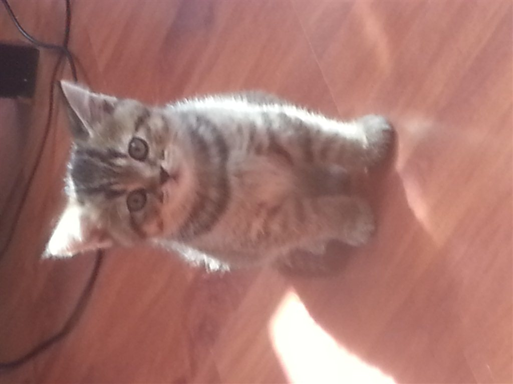 Британские котята, Вислоухие котята. смотреть онлайн видео от ... | 768x1024