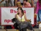 Фото в Собаки и щенки Вязка собак Приглашает на вязку кобель миттельшнауцера в Краснодаре 0