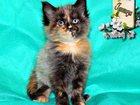 Фото в Кошки и котята Продажа кошек и котят Питомник Мейн-кунов предлагает к резервированию в Краснодаре 35000