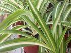 Просмотреть foto Растения Хлорофитум растения в горшках 32848414 в Краснодаре