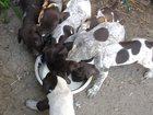 Фото в Собаки и щенки Продажа собак, щенков Продам щенков курцхаар от рабочих родителей в Тихорецке 0