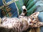 Изображение в Кошки и котята Продажа кошек и котят Отдам красивых, умных и чистоплотных котят в Краснодаре 0