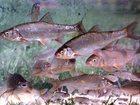 Скачать бесплатно изображение  Рыбалка на ельца в Краснодарском крае и отдых 33198881 в Краснодаре