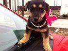 Изображение в Собаки и щенки Продажа собак, щенков Принцесса ищет хозяина. нам всего 2 месяца, в Краснодаре 1