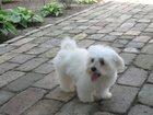 Фото в Собаки и щенки Вязка собак Кобель мальтезе ищет подругу на вязку. Отличная в Краснодаре 0