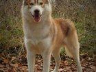 Фото в Собаки и щенки Вязка собак Для вязок предлагается кобель хаски : Биг в Краснодаре 0