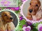 Фото в Собаки и щенки Продажа собак, щенков Щенки английского кокер спаниеля из питомника в Краснодаре 20000