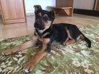 Просмотреть изображение  Отдам щенка в хорошие руки 35115493 в Краснодаре