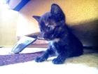 Фотография в   Черные кошки и коты – животные, обладающие, в Краснодаре 100