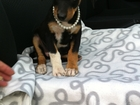 Фото в Собаки и щенки Продажа собак, щенков Бусинка нам 2 месяца. Очень Ласковая. Будет в Краснодаре 50
