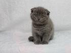 Изображение в Кошки и котята Продажа кошек и котят Голубая вислоухая шотландская кошечка. Игривая в Краснодаре 4000