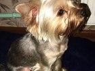 Изображение в Собаки и щенки Вязка собак Зовут Бен, 28 августа был год. Имеется паспорт, в Краснодаре 5000