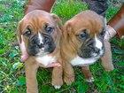 Изображение в Собаки и щенки Продажа собак, щенков щенки немецкого боксера готовы к продаже, в Краснодаре 7000
