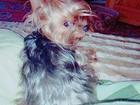 Новое фото Вязка собак Йоркширский Терьер 37895548 в Краснодаре