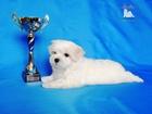Изображение в Собаки и щенки Продажа собак, щенков Продаются очаровательные мальчики мальтезе в Краснодаре 0