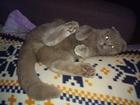Фотография в Кошки и котята Вязка Вислоухий красавец примет кошечку на своей в Краснодаре 1500
