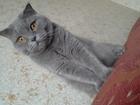 Изображение в   Отдам кошку Скоттиш-фолд, 2 года, стерилизована. в Краснодаре 0
