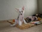 Фотки и картинки Китайская хохлатая собака смотреть в Краснодаре