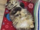 Смотреть foto  Скоттиш страйт (Шотландская прямоухая кошка) 38783167 в Краснодаре