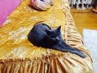 Фотография в   Срочно ищем кота Британца или Шотландца для в Краснодаре 0