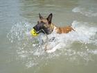Смотреть фотографию Вязка собак Кобель малинуа ищет подругу 39453406 в Краснодаре