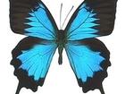 Свежее фото Другие животные Живые тропические бабочки Бабочки Лучший подарок! 39625277 в Краснодаре