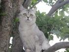 Уникальное foto Вязка кошек Вязк-Развязка Кот с приличным опытом, Молод, настойчив 43703099 в Краснодаре