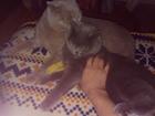 Уникальное фото Вязка кошек Вязка с шотландским котом 48763409 в Краснодаре