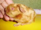 Просмотреть фотографию Грызуны Породистая морская свинка 49242937 в Краснодаре