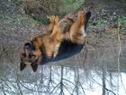 Новое фотографию  Немецкая Овчарка кобель для первой вязки 52700604 в Краснодаре