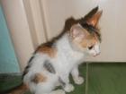 Новое foto  Отдаю трехцветную кошку в добрые руки 67364746 в Краснодаре