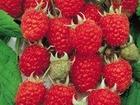 Увидеть изображение Растения Саженцы малины сорт Херитейдж 68141291 в Краснодаре