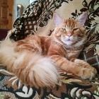 Шикарный крупный кот ищет дам для вязки