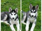 Изображение в Домашние животные Другие животные Мальчик и девочка, разноглазые , черно-белые, в Красноярске 25000