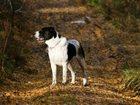 Фото в Собаки и щенки Продажа собак, щенков Документы РКФ, выставочная оценка отлично. в Красноярске 10000