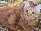 Скачать бесплатно изображение Находки Найден кот бобтейл в Красноярске 34062624 в Красноярске