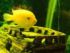 Скачать фото Аквариумные рыбки Продам рыбок Псевдотрофеус 34320698 в Красноярске