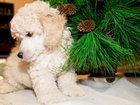 Фотография в Собаки и щенки Продажа собак, щенков продаеться мальчик 2 месяца с прививками, в Красноярске 0