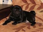 Фото в Собаки и щенки Продажа собак, щенков Питомник , , Изумруд Хакасии, , предлагает в Красноярске 15000
