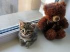 Фото в Кошки и котята Продажа кошек и котят Продам котенка, курильского бобтейла! Осталась в Красноярске 3500