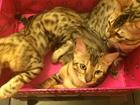 Фотография в Кошки и котята Продажа кошек и котят Срочно продам бенгальских котят в связи с в Красноярске 10000