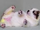 Фотография в Собаки и щенки Продажа собак, щенков Деваха с крепким костяком. Очень светлый в Красноярске 18000