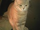 Фотография в Кошки и котята Вязка Вислоухий Британец Боня, возраст 9 месяцев. в Красноярске 0