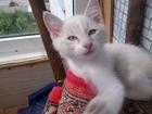 Фотография в Отдам даром - Приму в дар Отдам даром Отдам котёнка, кошечку! Зовут Снешой! Возраст в Красноярске 0