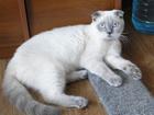 Фото в   Породистый, с документами, кот редкого окраса в Красноярске 0