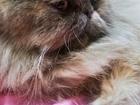 Фотография в   Персидская кошечка, 2года, без опыта нуждается в Красноярске 0