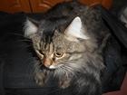 Фото в Кошки и котята Вязка Молодая сибирская кошечка приглашает кота. в Красноярске 0